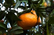Napoli, Capodimonte: Sabato la Festa del Mandarino